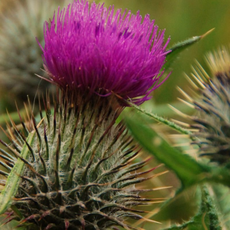 Cirsium Vulgare - the spear Thistle