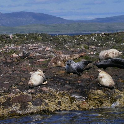 Gairloch seals in Scotland