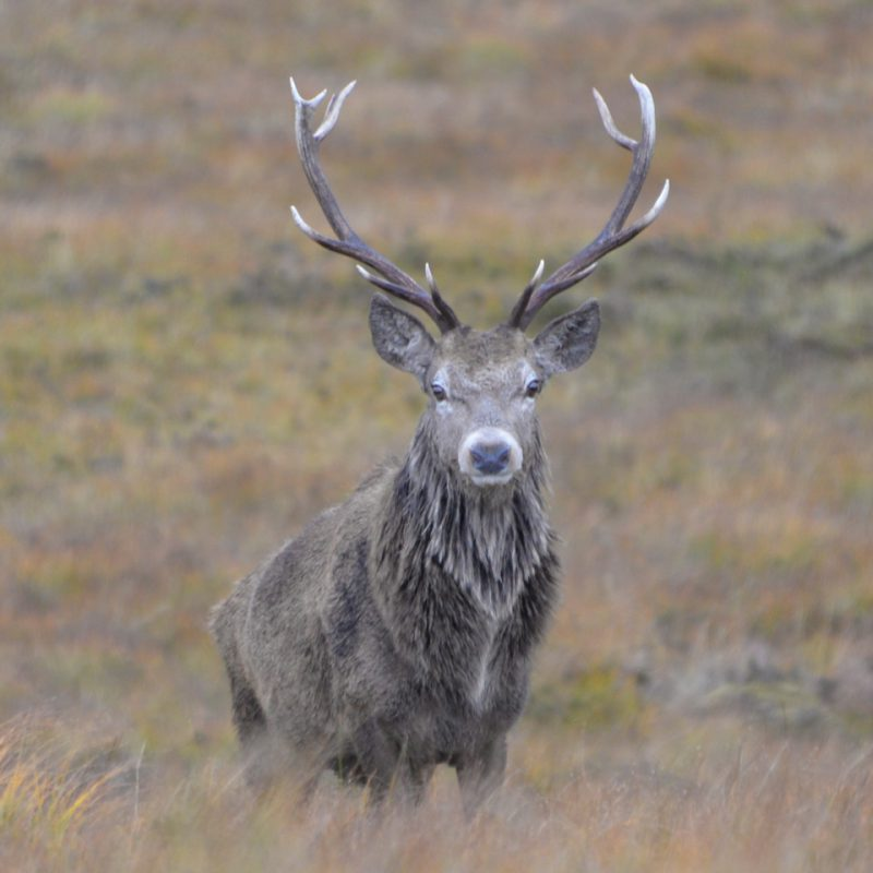 Red deer stalking in Scotland on Letterewe Estate
