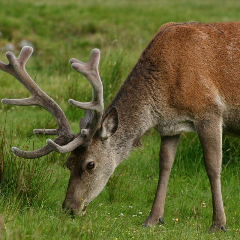 Deer in the great wilderness of Scotland