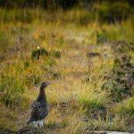 Pheasant in nature